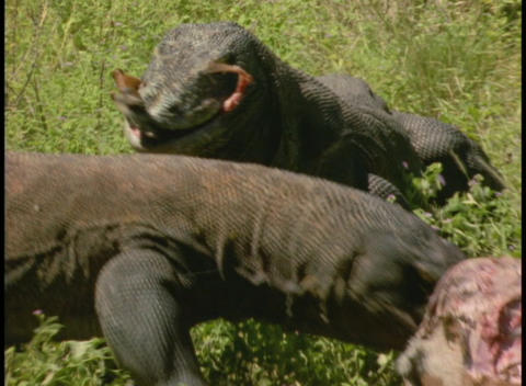 Komodo Dragons tear apart the carcass of an animal Footage