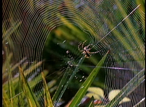 A black and orange spider spins a web in time lapse Stock Video Footage