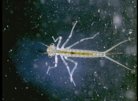 A microscopic bug swims through the water Stock Video Footage