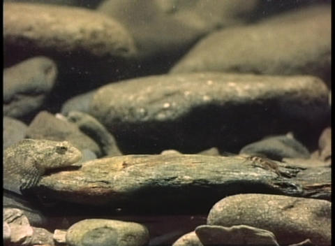 A camouflaged fish slowly stalks its prey Stock Video Footage