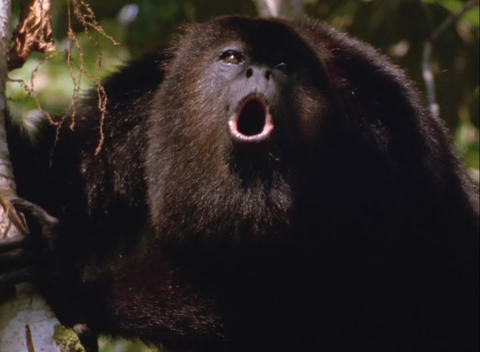 A howler monkey calls from the tree tops Footage