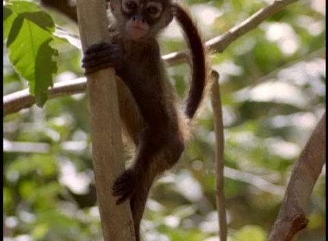 A baby monkey climbs a tree branch Stock Video Footage