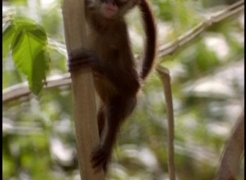 A baby monkey climbs a tree branch Footage