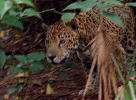 A jaguar stalks prey on the jungle floor Stock Video Footage