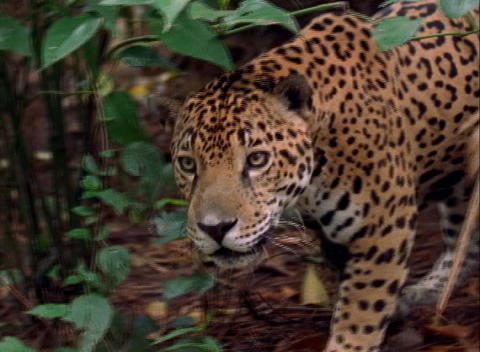 A jaguar stalks prey on the jungle floor Live Action