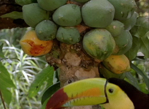 A toucan eats fruit from a tree Stock Video Footage