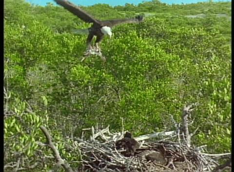 A juvenile eagle eats a dead shorebird Stock Video Footage