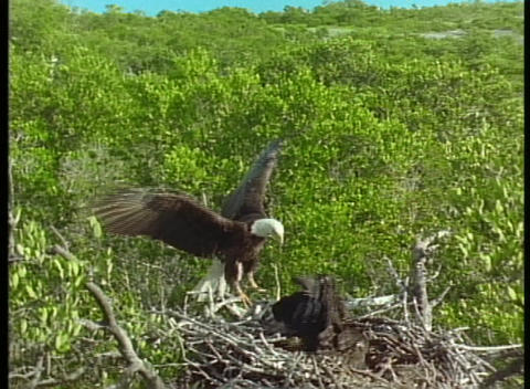 A juvenile eagle eats a dead shorebird Footage