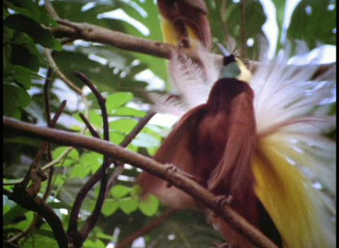 A colorful tropical bird of paradise displays its... Stock Video Footage