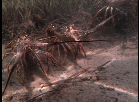 Crustaceans on the sandy bottom of shallow water Stock Video Footage