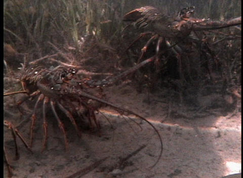 Crustaceans On The Sandy Bottom Of Shallow Water stock footage