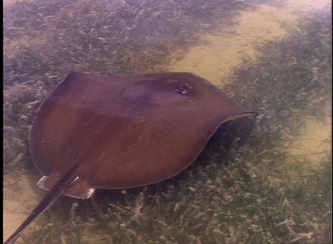 A stingray swims through shallow marsh water Footage