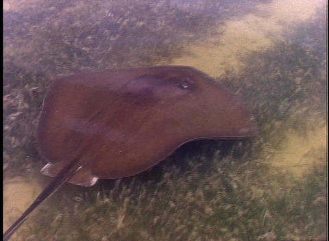 A stingray swims through shallow marsh water Stock Video Footage