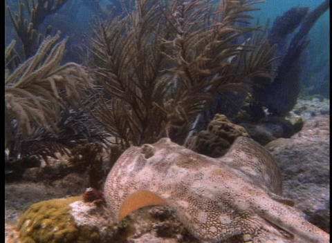 A stingray swims among sea plants Stock Video Footage