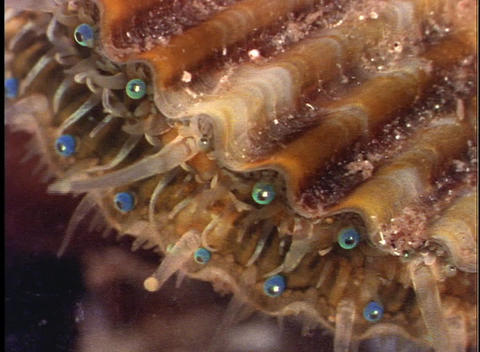 Delicate tentacles emerge from a mollusk Stock Video Footage
