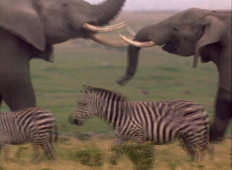 elephants lock tusks behind a herd of zebra Stock Video Footage