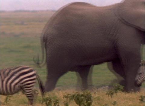 elephants lock tusks behind a herd of zebra Stock Video Footage