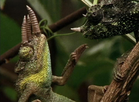 One chameleon grabs another in a tropical forest Live Action