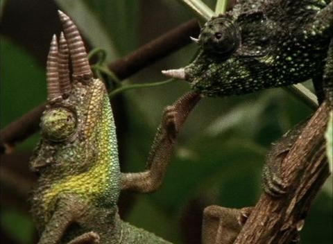One chameleon grabs another in a tropical forest Stock Video Footage