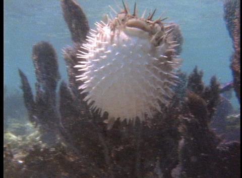 A pufferfish swims in tropical sea water Footage