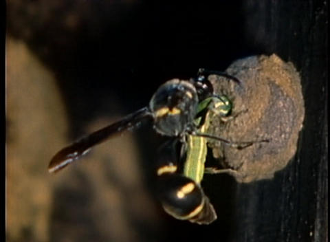 A wasp stuffs a caterpillar into its nest Stock Video Footage