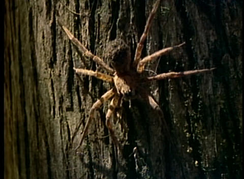 A large spider crawls across the trunk of a tree Footage