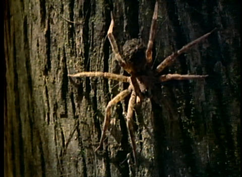 A large spider crawls across the trunk of a tree Stock Video Footage