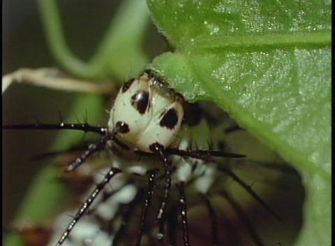 A spiky caterpillar chews on a green leaf Stock Video Footage