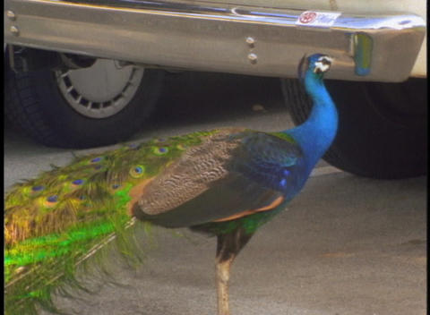 A peacock pecks at its own reflection in a car bumper Stock Video Footage