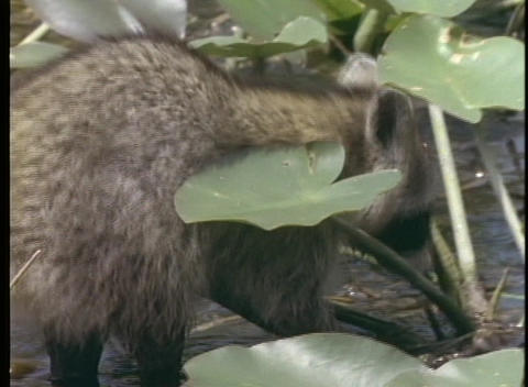 A raccoon wades through a shallow stream Stock Video Footage