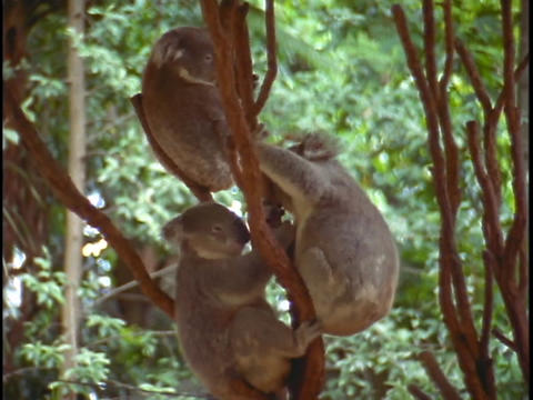 Koala bears play in tree branches Footage