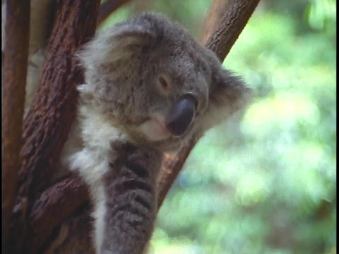 A koala bear rests between tree branches Footage