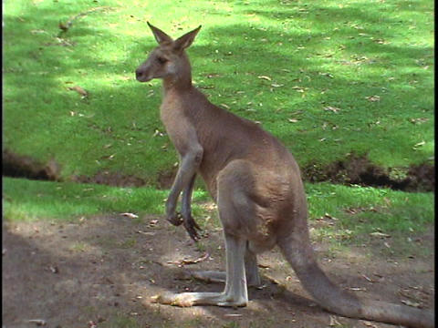 A kangaroo observes its surroundings Footage