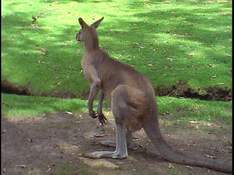 A kangaroo observes its surroundings Stock Video Footage
