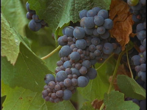A bunch of grapes hang on a vine at a vineyard Stock Video Footage