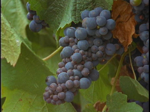 A bunch of grapes hang on a vine at a vineyard Live Action