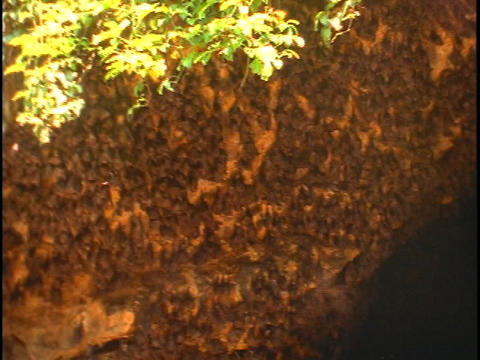 Bats hang from a cave in Bali, Indonesia Footage