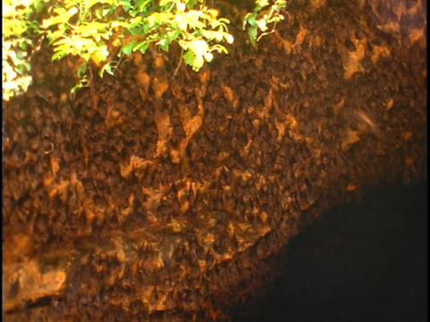 Bats hang from a cave in Bali, Indonesia Stock Video Footage