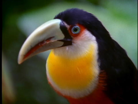 A toucan with a bright yellow breast assesses its surroundings Footage