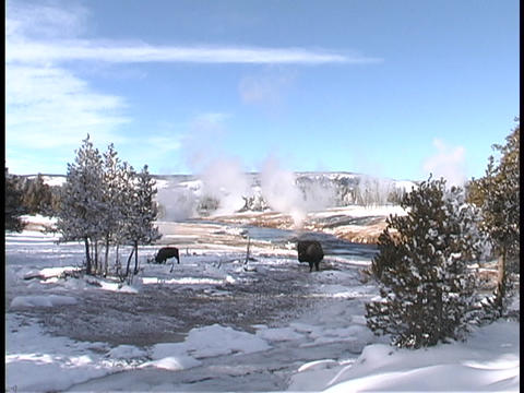 Buffalo graze in the snow at Yellowstone National Park Stock Video Footage
