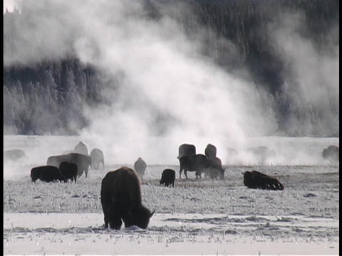 Buffalo graze in the snow at Yellowstone National Park Footage