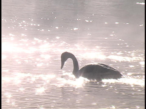 A swan forages on sparkling water Stock Video Footage