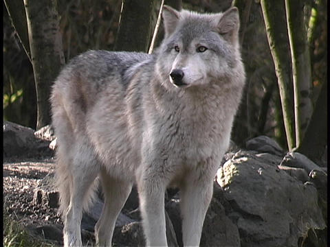 A gray wolf stands and guards its territory Footage
