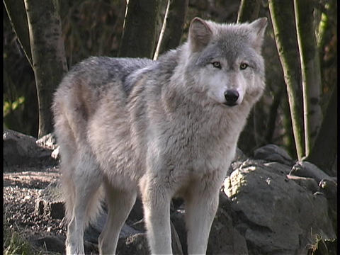 A gray wolf stands and guards its territory Stock Video Footage