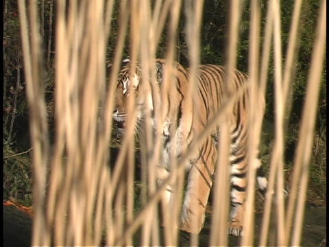 A tiger walks through the jungle Stock Video Footage