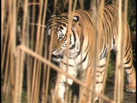 A tiger walks through the jungle Footage