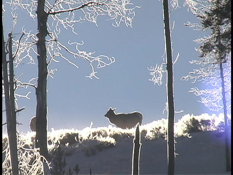 An elk cow grazes in the snow Footage
