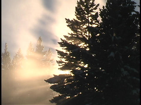 Sun rays shine through evergreen branches Live Action