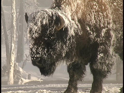 Snow blows over a bison in Yellowstone National Park Stock Video Footage