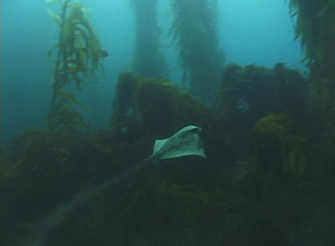 A manta ray swims underwater Stock Video Footage